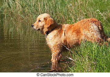 Golden Retriever Standing At Waters Edge