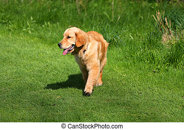 Golden Retriever Walking On Grass Path
