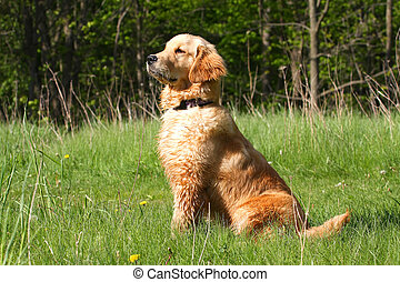 Golden Retriever Sitting Profile