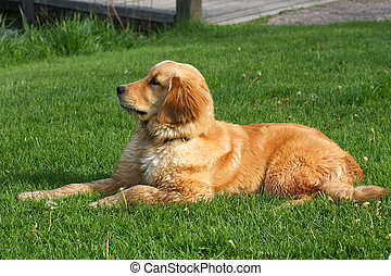 Golden Retriever Laying In Grass In Afternoon Sun