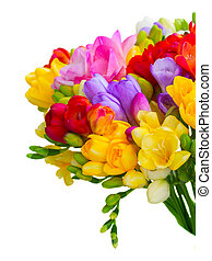 Fresh freesia flowers and buds posy close up isolated on...