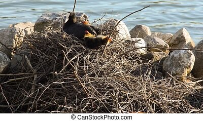 Mother and cute eurasian coot chick - Mother and cute young...