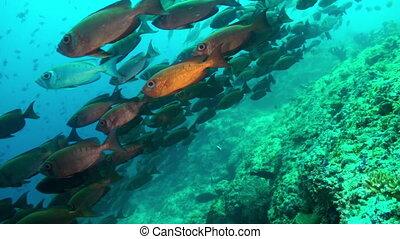 School of red tropical fish swim on reef in sea.