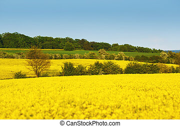 Yellow field with rapeseed flowers and trees between fields...
