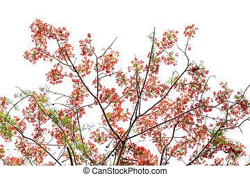 Barbados flowers, Peacocks Crest or Caesalpinia pulcherrima...