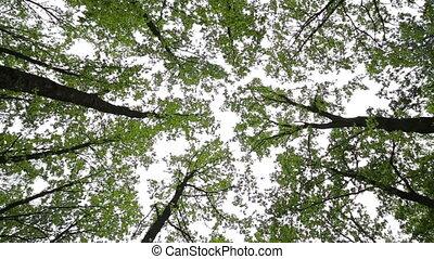 Oak trees from below