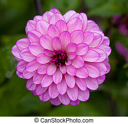 Pink Dahlia flower in full bloom closeup - Garden Dahlia...