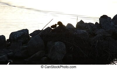 Mother and cute young eurasian coot chicks silhouette on a...