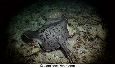 Black blotched stingray night hunting on reef. - Black...