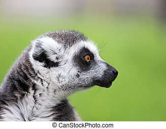 Ring tailed lemur - Close up portrait of ring tailed lemur