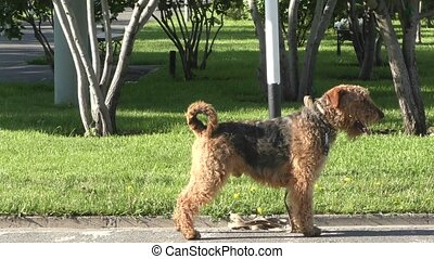 Dog breed Airedale terrier waiting for his master