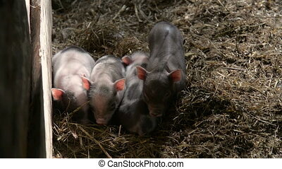 several new born piglets laying on each other sleeping while one is looking at camera
