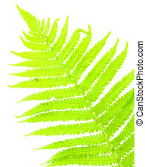 fern - Close up of fern on white background isolated