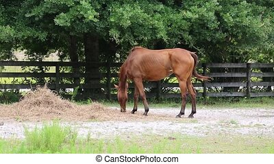 Horse grazing in a field - Horse grazing in farm pasture