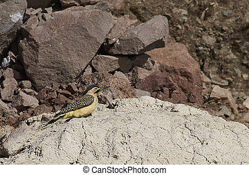 Andean Flicker Colaptes rupicola, a type of woodpecker, in...