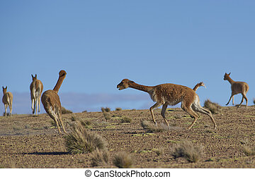 Vicuna Fighting on the Altiplano - Male Vicuna Vicugna...