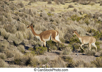 Vicuna on the Altiplano - Adult and baby Vicuna (Vicugna...
