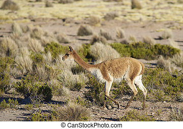 Vicuna on the Altiplano - Vicuna (Vicugna vicugna) in...