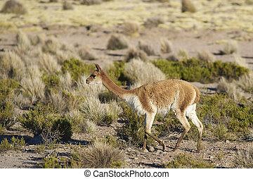 Vicuna on the Altiplano - Vicuna (Vicugna vicugna) in...