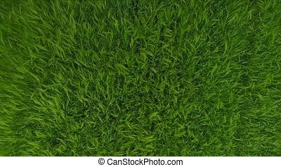 Aerial footage of Green Field Grass Waves Moved by Summer Wind. Nature Background.