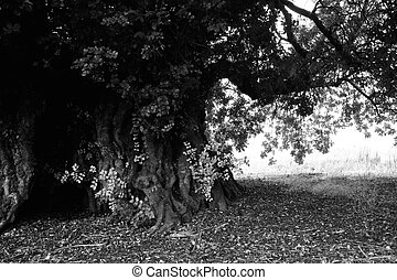 old carob tree - Very old and monumental carob tree located...