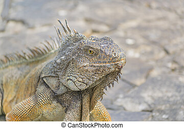Iguana Park Guayaquil Ecuador - Closeup view of iguana at...