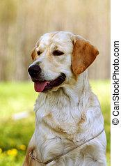 beautiful purebred dog Golden-Retriever summer outdoors...