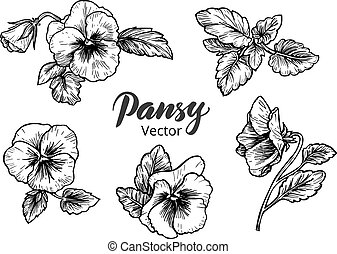 Hand drawn pansy flowers Vintage style vector illustration