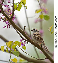 Chipping Sparrow, Spizella paserina - Chipping sparrow,...
