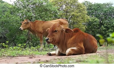 Brown Cow Chewing Grass - Young brown cow chewing grass...