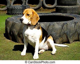 Beagle in sun