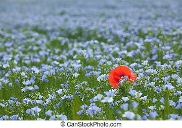 single poppy in flax field - single red poppy in blue flax...
