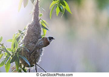 Eurasian penduline tit near nest with sunny hotspot