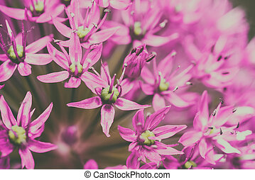 Allium Flowers Close Up