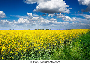 Yellow rapeseed field - canola field on a sunny blue sky day