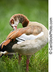 Wild goose in grass - Colorful wild goose in grass with...