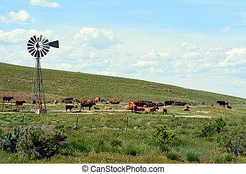 Cattle around windmill