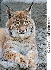 Lynx having a rest