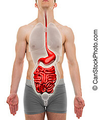 Guts Male - Digestive System - Internal Organs Anatomy - 3D...