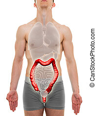 Large Intestine Male - Internal Organs Anatomy - 3D...