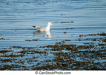 Seagull in blue water
