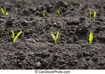 Corn sprouts in the soil