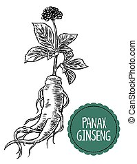 Root and leaves panax ginseng. Vector black and white...