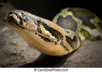 Indian rock python Python molurus - Detail of the head of a...