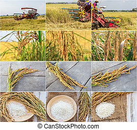 Harvester machinery - Set of harvest machinery and paddy...