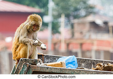 Rhesus monkey looking for food - Photo of rhesus monkey...