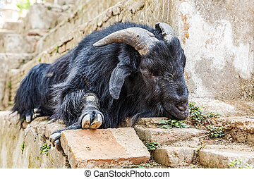 Holy goat take a rest - Black holy goat take a rest in...
