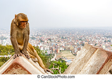 Kathmandu cityscape and rhesus monkey - Rhesus Monkey and...