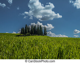 Group of cypress trees in Tuscan landscape in spring