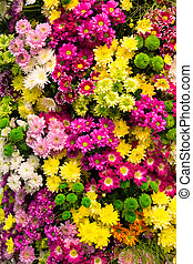 Colorful flowers - Many little colorful marguerite...
